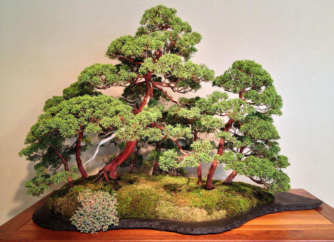 Ibonsai consigli tecniche e vendita online bonsai for Tipi di bonsai